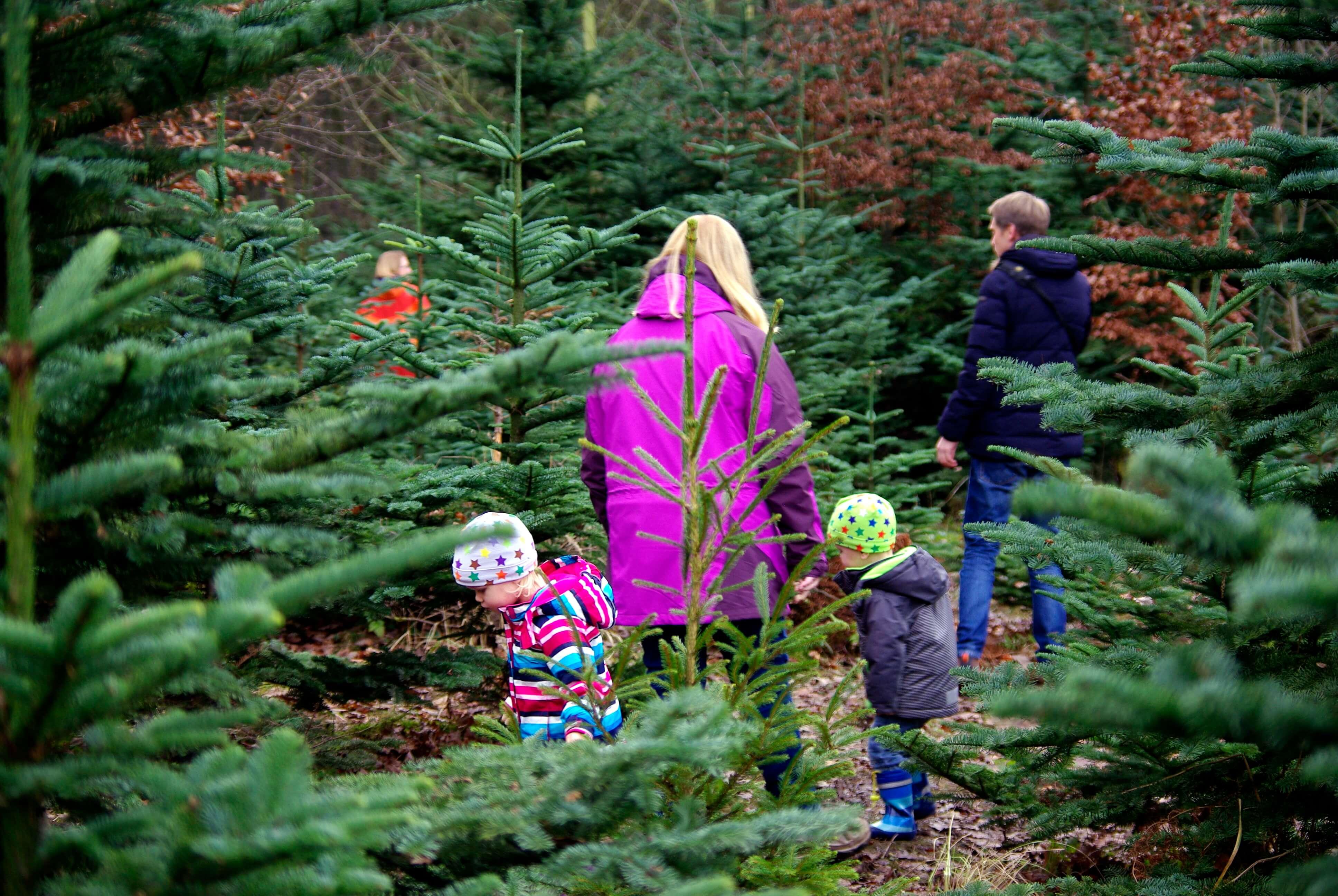 Tannenbaum suchen im Wald